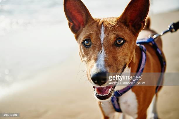 Close-Up Portrait Of Basenji Standing At Beach