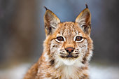 Close-up portrait of beautiful young eurasian lynx or bobcat in the forest. Wild cat eyes looking into camera.