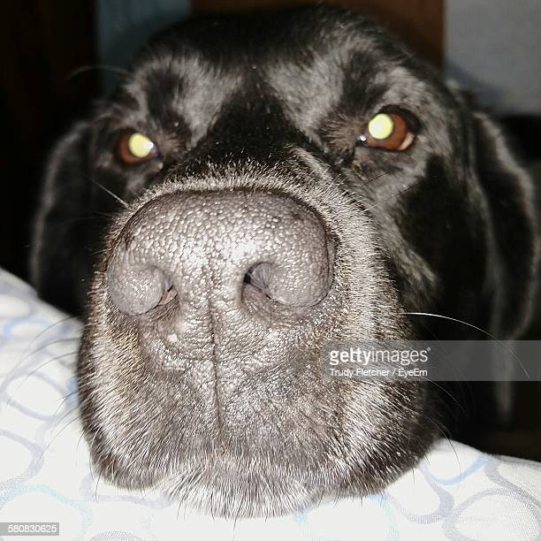 Close-Up Portrait Of Black Labrador At Home