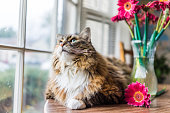 Closeup portrait of calico maine coon cat lying on table looking outside by flowers in vaseCloseup portrait of calico maine coon cat lying on table looking outside by flowers in vase