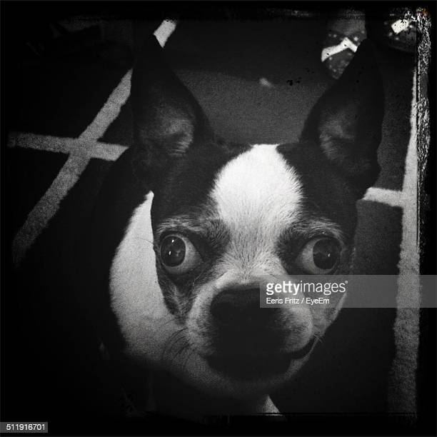 Close-up portrait of Chihuahua at home