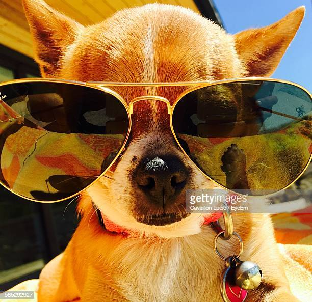 Close-Up Portrait Of Chihuahua Wearing Sunglasses