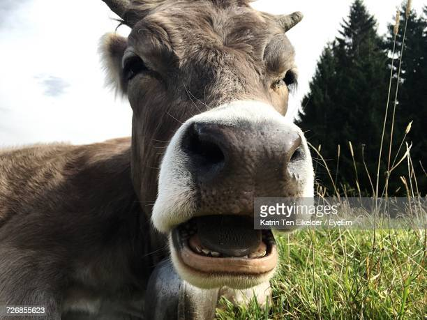 Close-Up Portrait Of Cow Standing On Grassy Field