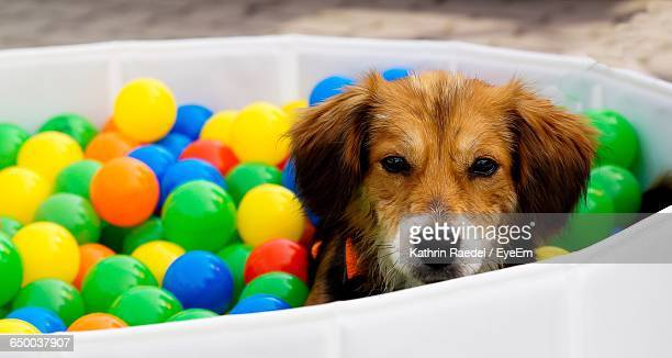 Close-Up Portrait Of Dog At Ball Pool