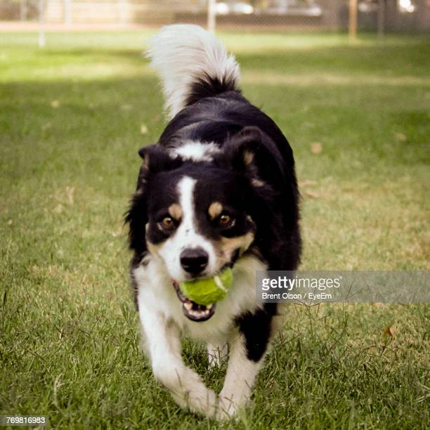 Close-Up Portrait Of Dog Carrying Ball In Mouth Walking On Grassy Field