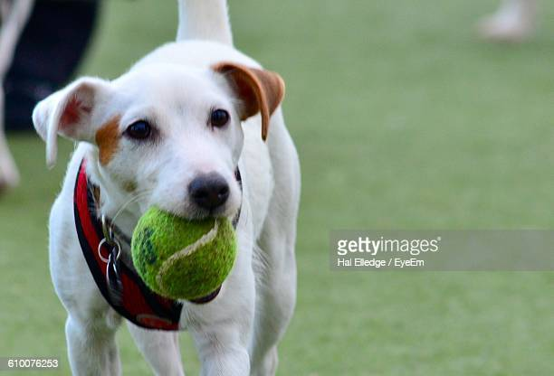 Close-Up Portrait Of Dog Carrying Tennis Ball In Mouth On Grassy Field