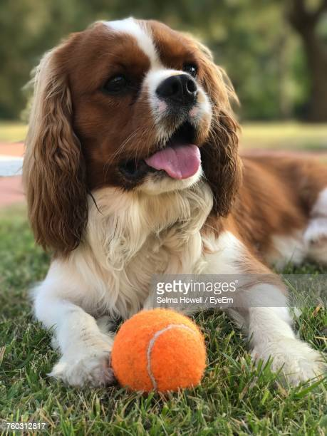 Close-Up Portrait Of Dog With Ball On Grass
