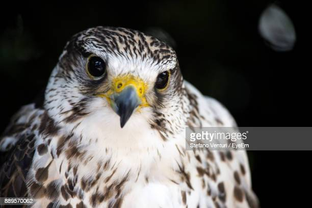 Close-Up Portrait Of Falcon Against Black Background