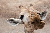 Closeup portrait of giraffe head in the zoo