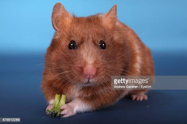 Close-Up Portrait Of Golden Hamster With Broccoli Against Blue Background