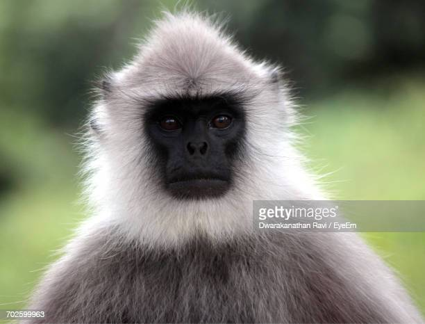 Close-Up Portrait Of Gray Langur