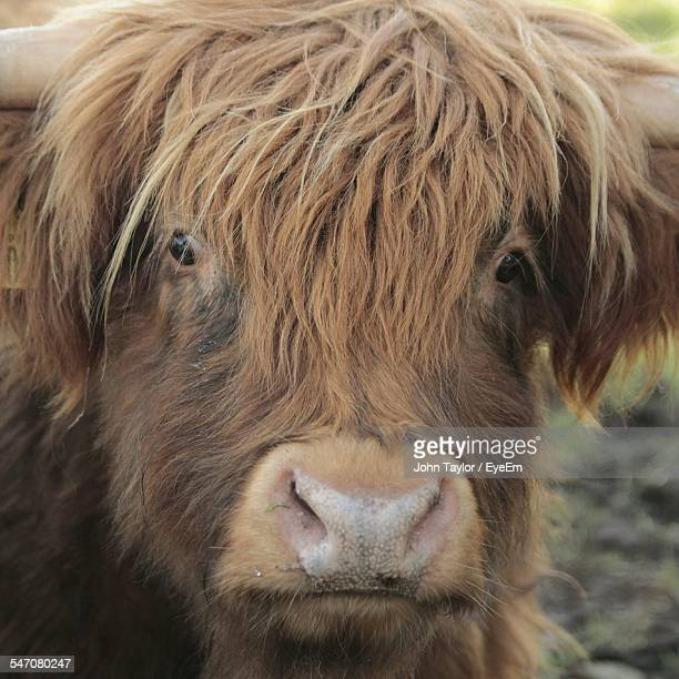 Close-Up Portrait Of Highland Cattle