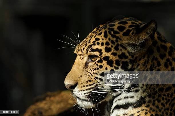 Close-up Portrait von Jaguar im Profil