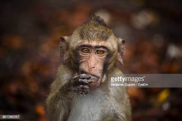 Close-Up Portrait Of Monkey Eating Fruit At Forest
