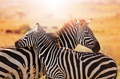 Close-up portrait of mother zebra with its foal standing at savannah of Kenya, Africa