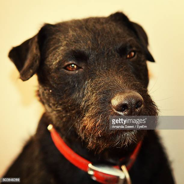 Close-up portrait of Patterdale Terrier dog