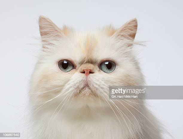 Close-up Portrait of Persian Cat