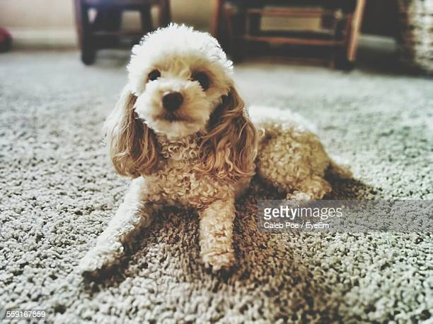Close-Up Portrait Of Poodle Relaxing On Carpet At Home