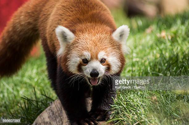 Close-Up Portrait Of Red Panda On Grassy Field