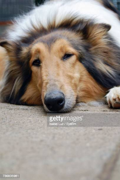 Close-Up Portrait Of Rough Collie Lying Down