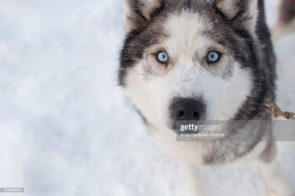Closeup Portrait Of Siberian Husky Stock Photo Getty Images
