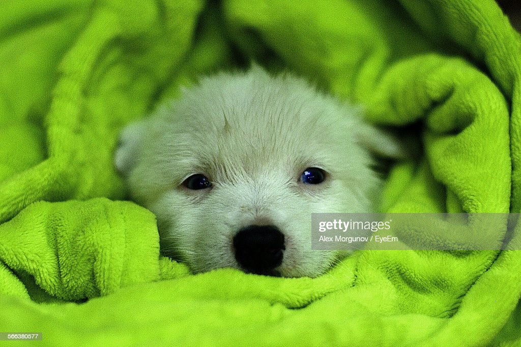 Close-Up Portrait Of Siberian Husky Wrapped In Green Blanket