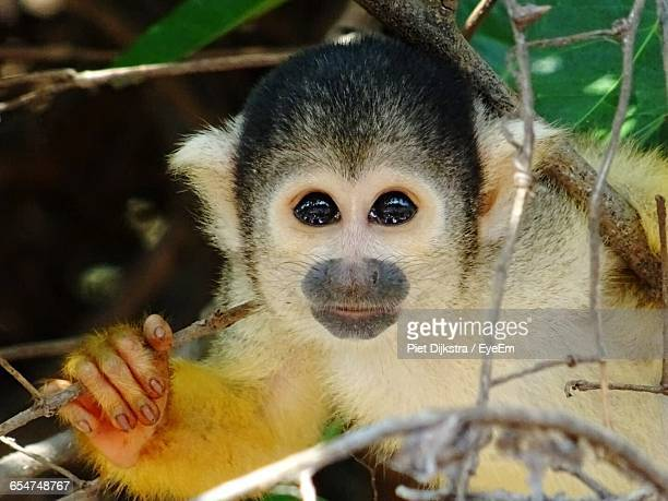 Close-Up Portrait Of Squirrel Monkey On Tree