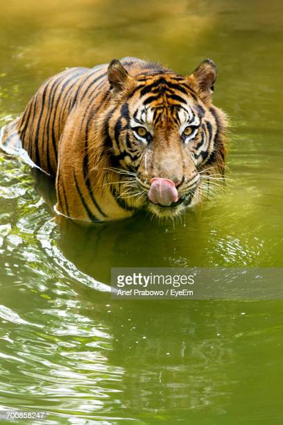 Close-Up Portrait Of Tiger In Water