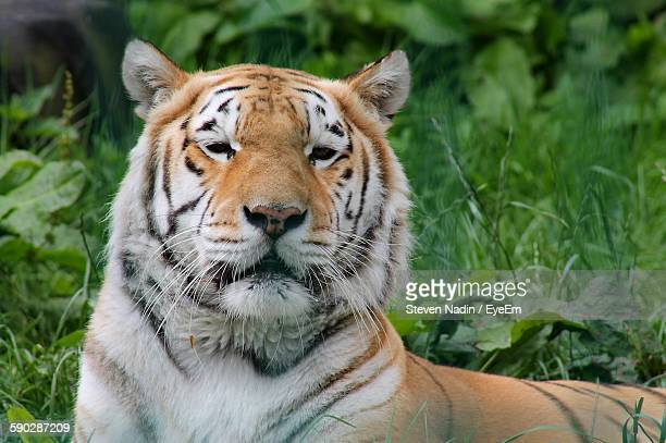 Close-Up Portrait Of Tiger Lying On Field In Forest
