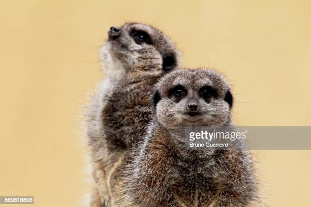 Close-up portrait of two meerkats