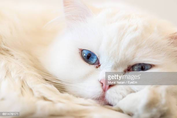 Close-Up Portrait Of White Cat