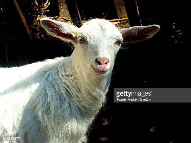 Close-Up Portrait Of White Goat On Field