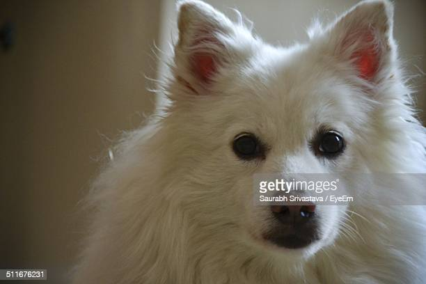 Close-up portrait of white Pomeranian dog