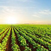 closeup potato field at the sunset