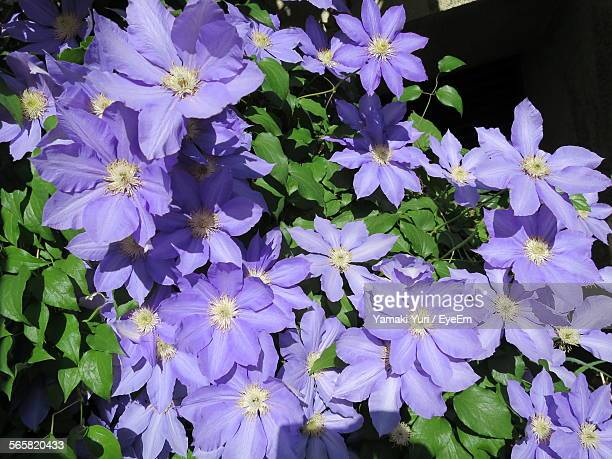 Close-Up Purple Clematis Flowers