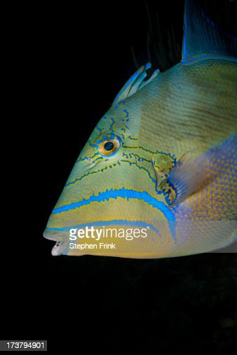 Close-up, Queen triggerfish : Stock Photo
