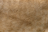 Closeup real lion skin texture. Lion fur background texture image background
