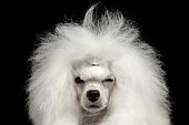 Closeup Portrait of Shaggy Hair Poodle Dog Squinting Looking in Camera Isolated on Black Background