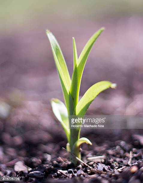 PARK TORONTO ONTARIO CANADA A closeup shot of a young seedling breaking through rocky soil to begin its life The tender green leaves reflect the...