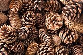 Close up of pinecones