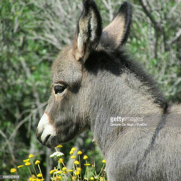 Close-up side view of a donkey