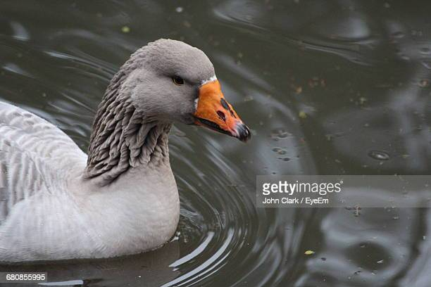 Close-Up Side View Of A Duck In Water