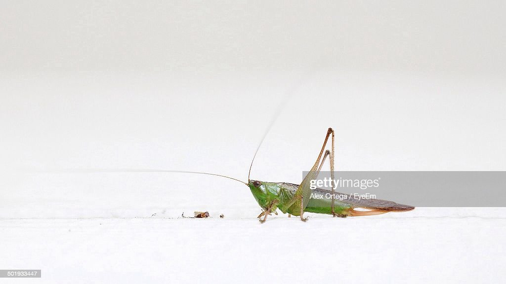 Close-up side view of grasshopper over white background