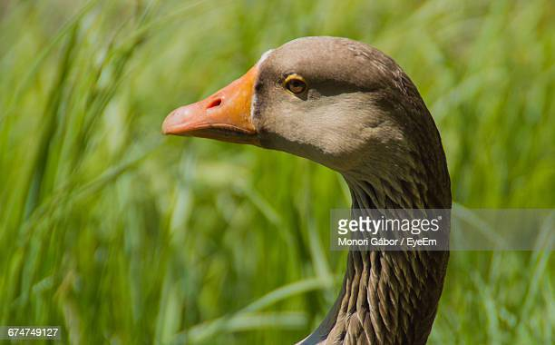 Close-Up Side View Of Greylag Goose