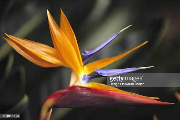 Close-up side view of single Bird of Paradise (Strelitzia reginae) flower on plant.