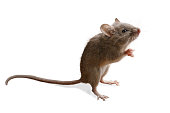 closeup small mouse (Microtus arvalis) stands on its hind legs isolated on white background