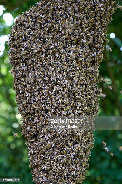 Close-Up Swarm Of Bees