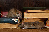 Close-up two rat (Rattus norvegicus) climbs on old books on the flooring in the library. Concept of rodent control.