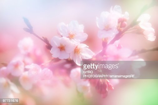 Close-up up flowers on a cherry tree : Stock Photo