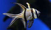 Close-up view of a Banggai cardinalfish (Pterapogon kauderni)